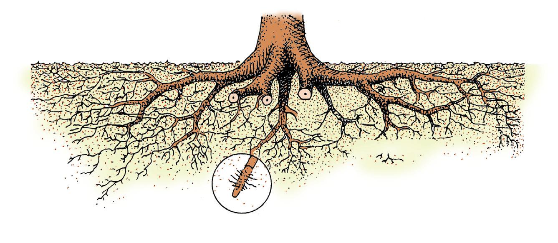 El casta o castanea for Cuales son las partes de un arbol
